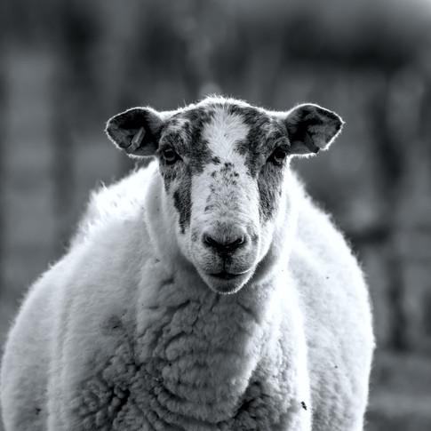 (1541) Lone Sheep, Bavelaw Castle, Pentl