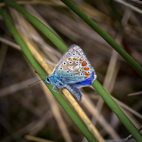 (1483) Adonis Blue Butterfly (Lysandra B