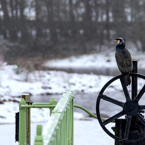 (1324) Cormorant in Snow, Winter Snow Sc