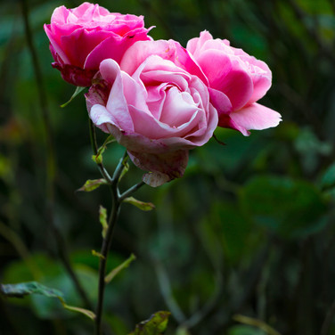 (1095) Pink Roses, Garden off Johnston T