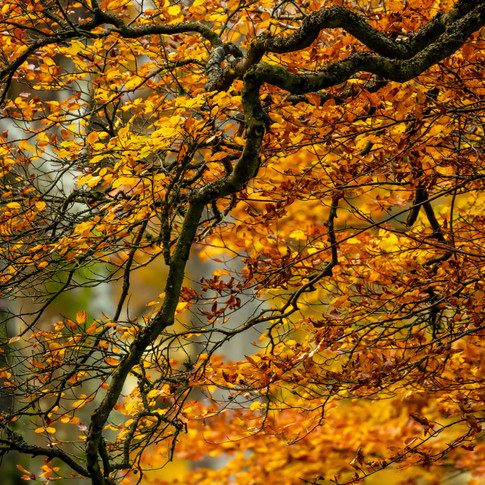 (1542) Orange Autumn Leaves, Mansfield R
