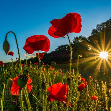 (1428) Red Poppy Love, Sun Starburst, Ra