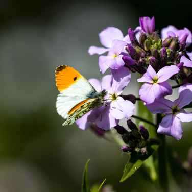 (1119) Orange Tip Butterfly, Malleny Gar
