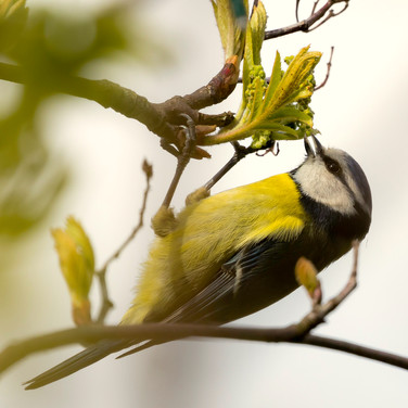 (1092) Garden Blue Tit, Ratho, West Edin