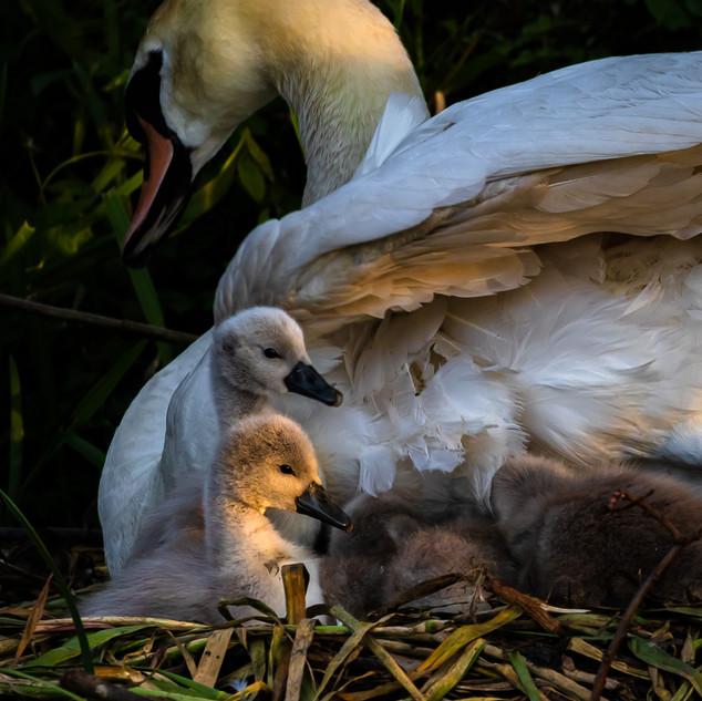 Cygnets & Mother Swan, Ratho, Edinburgh