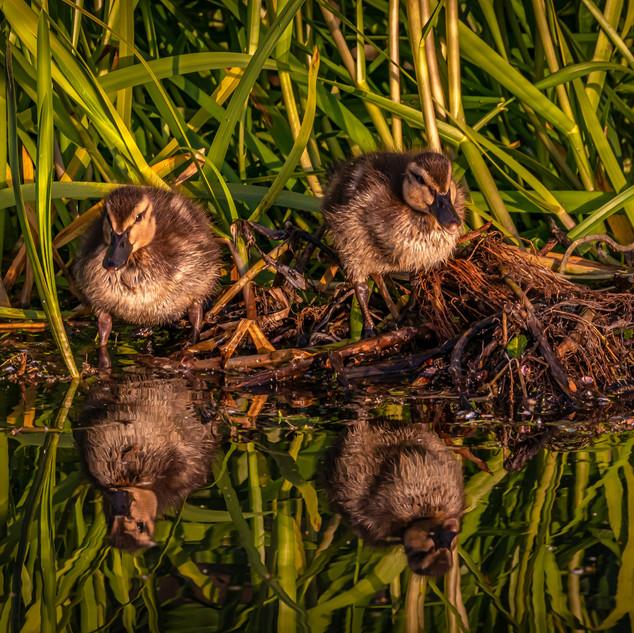 Mallard Ducklings, The Union Canal, Edinburgh