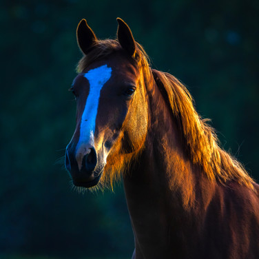 (1169) Horse at Golden Hour, Bonnington,