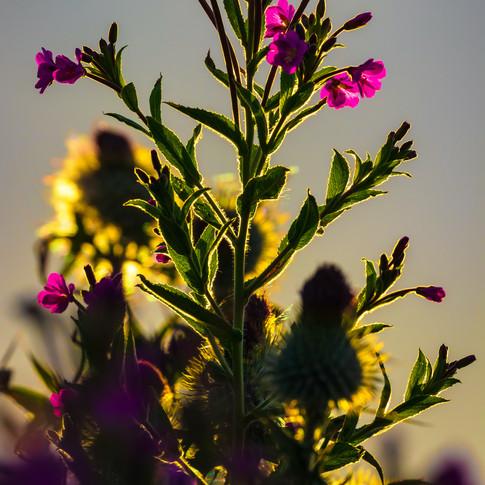 (1164) Golden Hour Backlit Wild Flowers,