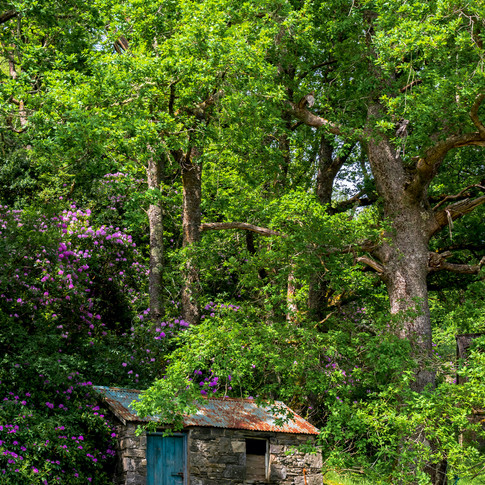 (1150) Outbuilding amongst Rhodedendrons