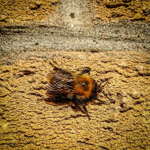 (1455) Bee on Wall, Ratho, West Edinburg