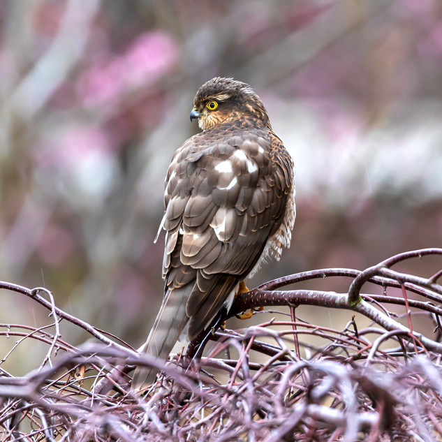 (1527) Juvenile Sparrowhawk, Accipiter N