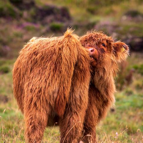 (1422) Highland Cow Calf, Isle of Lewis,