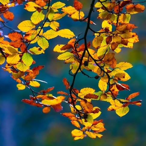 (1543) Autumn Leaves, Bavelaw Castle, Pe