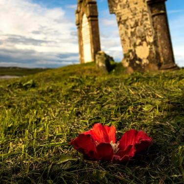 (1497) Red Poppy in Graveyard, Isle of L