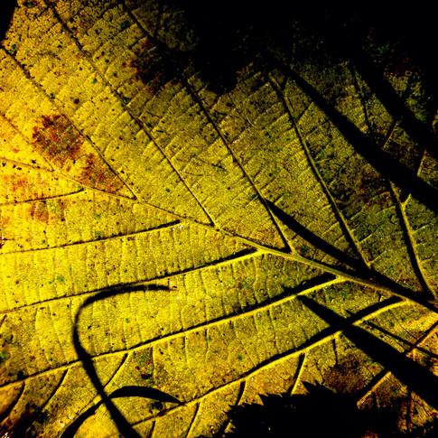 (1547) Autumn Leaf Backlit by Evening Su
