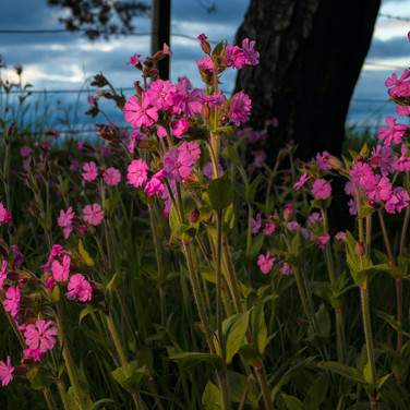 (1374) Beautiful Red Campion Flowers Eme