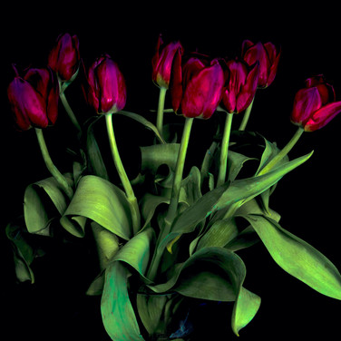 (1382) Red Tulips Light Painted With a T