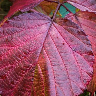 (1453) Red Purple Autumn Leaf, Ratho, We