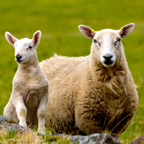 (545) Lamb with Mother, Lairg, Sutherlan