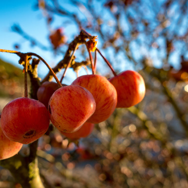 (1217) Chinese Apple Tree with Small Red