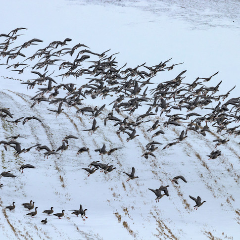 (1002) Wild Geese Taking Flight from Sno