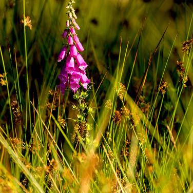 (659) Foxglove in Grass, Digitalis Purpu