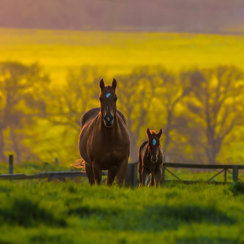 (1369) Mother & Foal in Field, Horses at