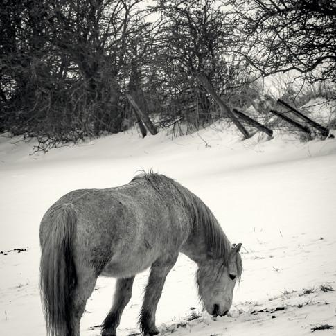 (1006) Horse Grazing in Snowy Field near