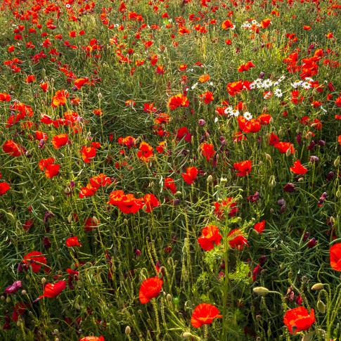 (1552) Red Poppy Field, Ratho, Edinburgh