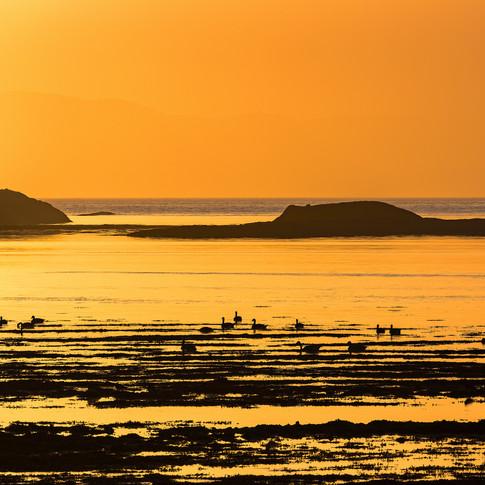 (673) Canada Geese, Loch Feochan, Oban,