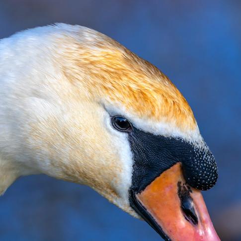 (1355) Swan in Spring, Lins Mill, Newbri