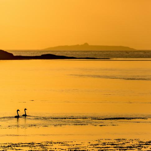 (670) Swans, Loch Feochan, Oban, Argyll