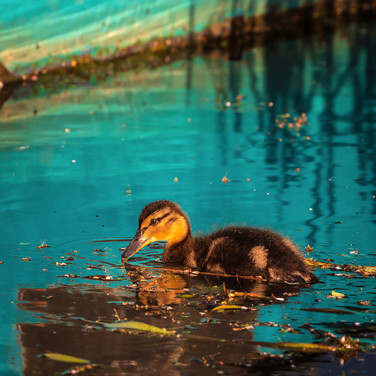 (1394) Mallard Duckling, The Union Canal