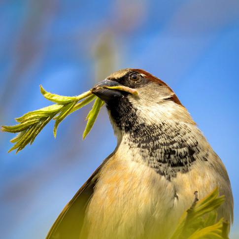 (1093) Garden Sparrow collecting Nest Ma