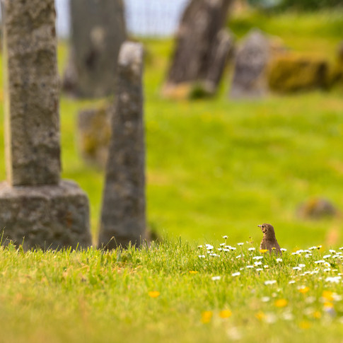 (1157) Song Thrush Amongst the Daisies,