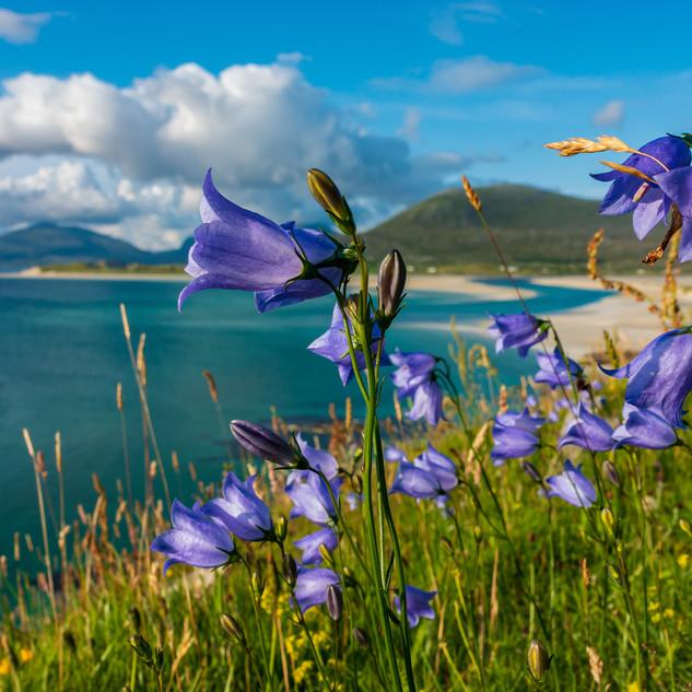 Harebells at Seilebost Beach, Luskentyre, Isle of Harris, Scotland