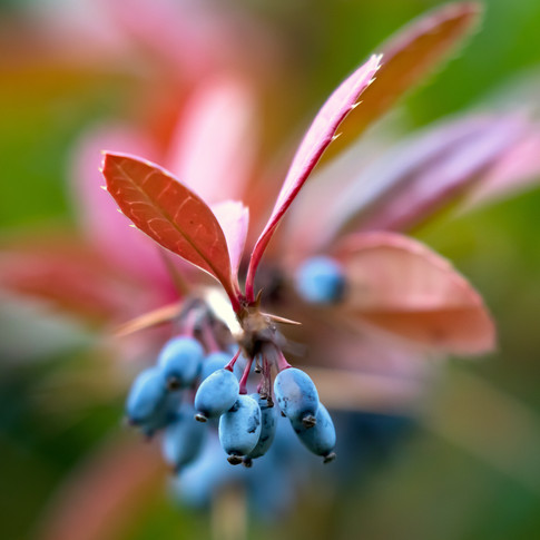 (1216) Blue Berries on a Pink Leaved Mah