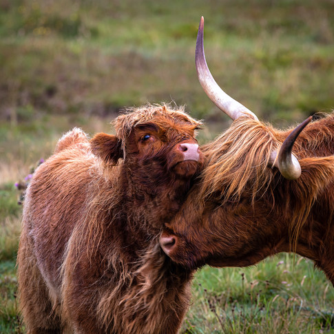 (1519) A Mother's Love, Highland Cow and