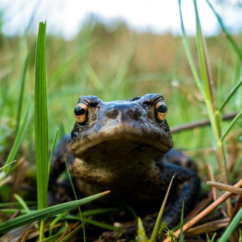 (339) Wild Common Toad, Bufo Bufo, in fo