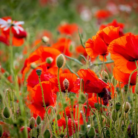 (1550) Field of Red Poppies, Edinburgh S