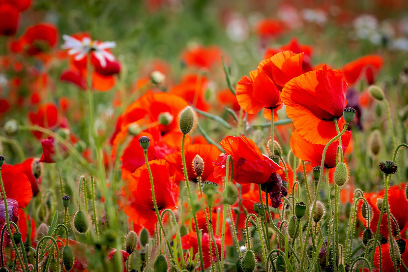 (1550) Field of Red Poppies, Edinburgh Scotland. Copyright David Wheater All Rights Reserv