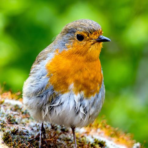 (538) European Robin, Robin Redbreast, E