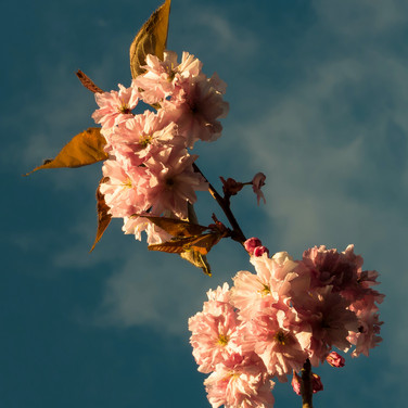 (533) Cherry Tree Blossom in The Meadows