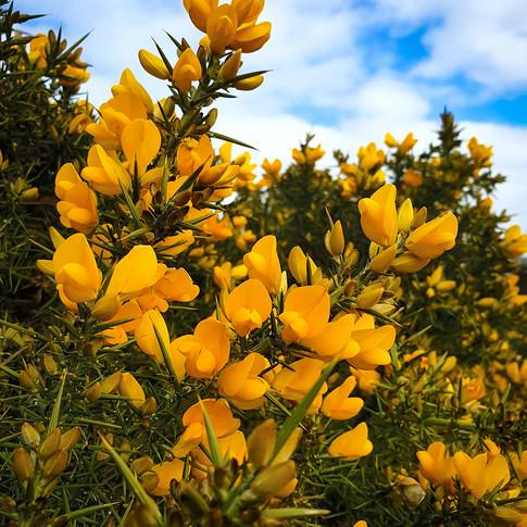 (1535) Yellow Gorse or Whin, Scottish Wi