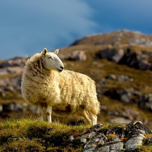 (361) Sheep near Skerricha, North West S