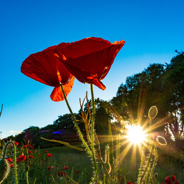 (1458) Red Poppies in Wheat Field and Go