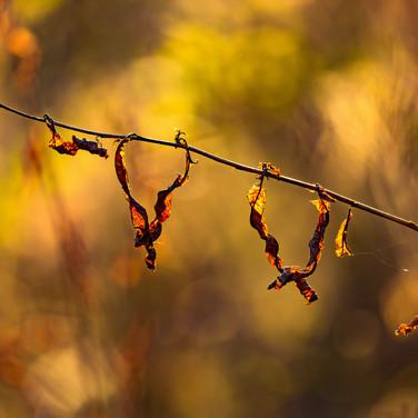 (874) Golden Autumn Light on Woodland Fo