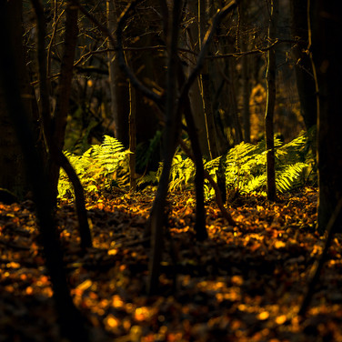 (875) Green Woodland Ferns in Golden Win