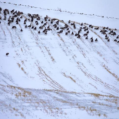 (1210) Winter Geese in Snowy Field, Rath