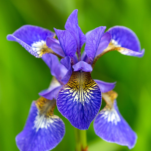 (628) Siberian Iris, Iris sibirica L., R